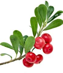 Bearberry, Urva Ursi, Fluid Extract 1:2, 50ml