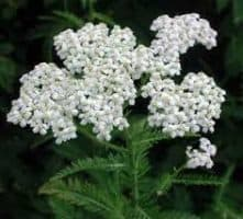 Yarrow 1:2 Fluid Extract, 50ml,